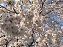 桜咲きました(>_<)