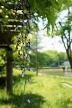 近藤勇が最後に愛でた「藤の花」を、愛でる...。