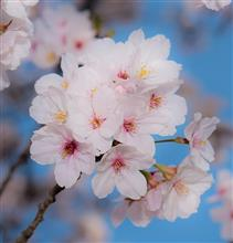 成田と桜とヒコーキと。
