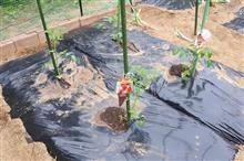 夏野菜の定植