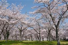 桜旅 静岡へ