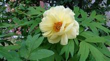 黄色い牡丹が(^^;)))