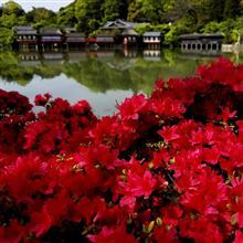 京都・長岡天満宮のツツジを撮ってきました♪