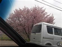 札幌は桜が満開です