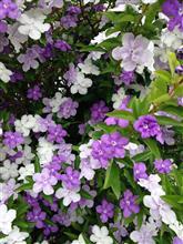 ニオイバンマツリ(マツリカ)のお花💠