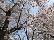 桜満開!でもちょっと残念