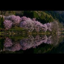 雪国に訪れた春。~絶景桜ツアー~
