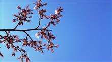日本一遅く桜が開花。そして夕方にサイクリングするがそんな場合では無かったかも知れない。