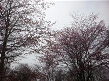 はまなか桜まつり