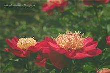 【後編】季節の花 ー 芍薬