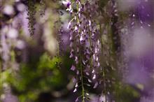 藤と芝桜 - Old TAMRON -