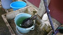 カメ太郎を洗う