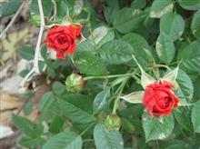 バラが咲いた~真っ赤なバラが~!