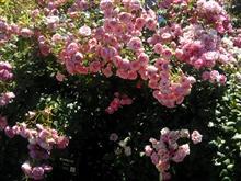薔薇 今年も フルハーフ のバラの鑑賞会へ。
