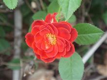 バラがきれいに咲いてます\(^o^)/
