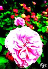 薔薇が咲きました、