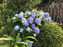 2018.6.3.我家の紫陽花。