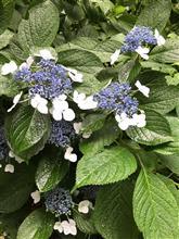 6月は紫陽花の季節 浜田省吾 紫陽花のうた が入ってるCDから
