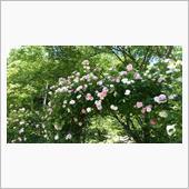 野に咲くバラ、ではないけれど
