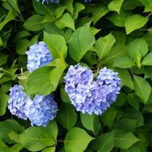 【只今・七変化中】今日は紫陽花💙