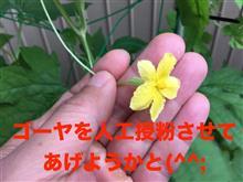 ▼【動画】雌花が咲きましたよ(^o^)