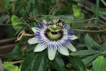 コチラはトケイソウの花