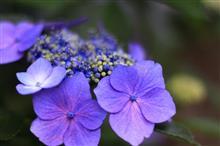 梅雨の晴れ間に紫陽花鑑賞