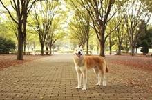 日本の「国犬」とも、称される 秋田犬 どうしてこんなに、ファンが多いの? =中国メディア
