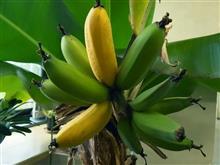 バナナ食べ頃です
