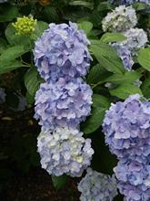 雨の合間に紫陽花