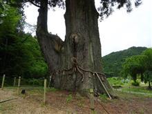パワースポット樹齢1800年大杉とねばねばる