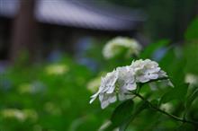 弘長寺 - 紫陽花 -