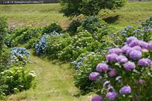 紫陽花の小風景 ~ 狭く、浅く ~