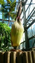 世界最大の花