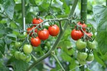 赤くなったプチトマト