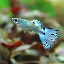 熱  帯  魚