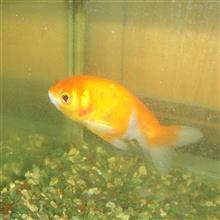 新しい金魚さんが来た