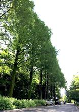 メタセコイヤ並木