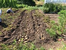 猛暑日(゚o゚;;ジャガイモ収穫~熱中症見舞い申し上げます