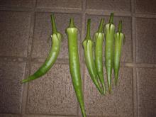 オクラ収穫しました。