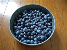再びブルーベリー収穫しました。