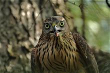 お盆休み前半は、近隣へオオタカ幼鳥を撮りに!!
