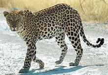 逆襲の豹 VOL.2