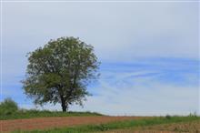 ヒマワリと胡桃の木