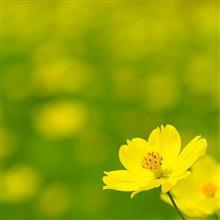 くりはま花の国 コスモス祭り
