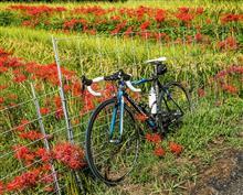 今朝のサイクリング --- 見頃のヒガンバナ。