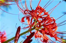 曼珠沙華の花が…