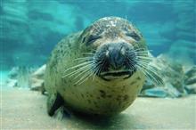 岩かよ!海遊館のアザラシ「◯」過ぎるとSNSで話題に!