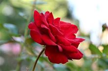 今年最後、秋の薔薇🌹