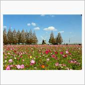 秋桜との約束 ♡